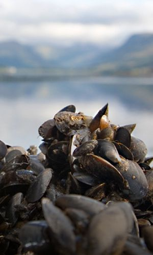 Loch Fyne Mussel Farm starts production